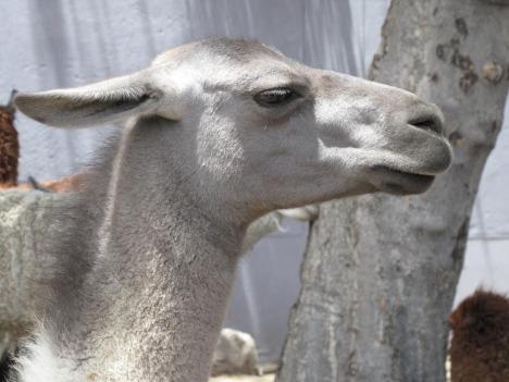 Llamaen er større en alpakkaen og har veldig lite pels i ansiktet.